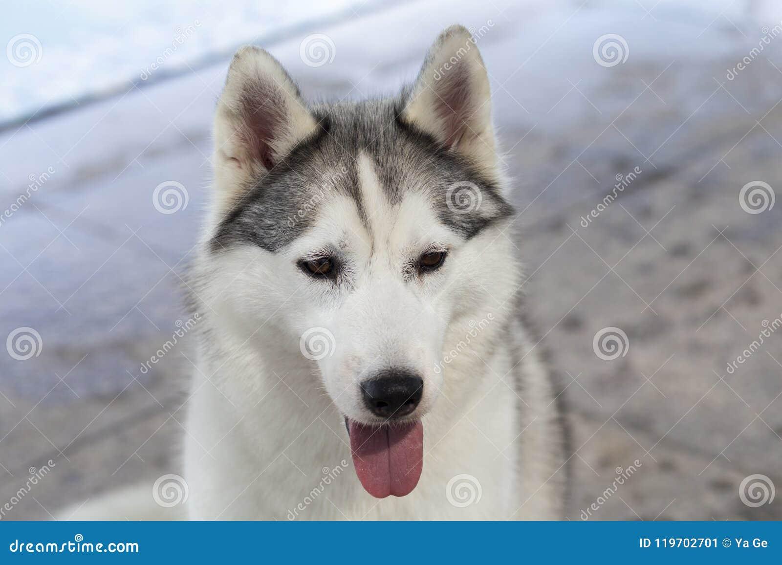 Siberian Husky Dog Stock Image Image Of Pool Outdoors 119702701