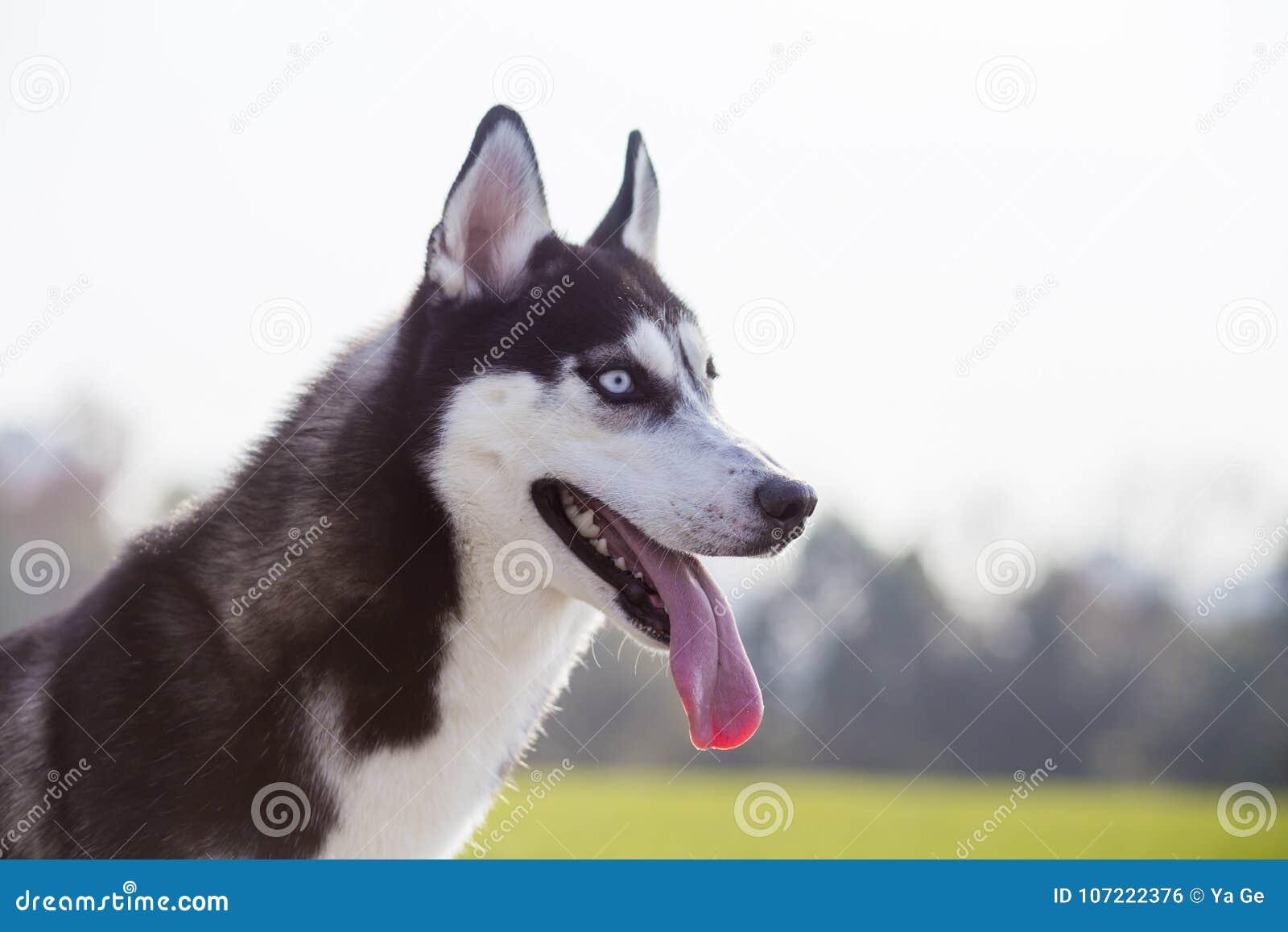 Siberian Husky Dog Stock Photo Image Of Silly Outdoor 107222376