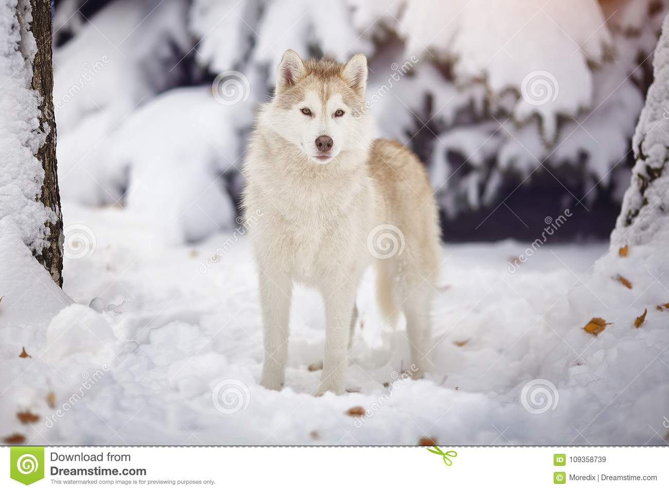 Siberian Husky Dog In The Snow Forest Stock Image Image Of Muzzle