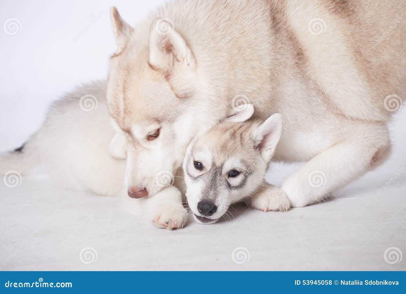Siberian Husky Dogs Stock Photo Image 53945058