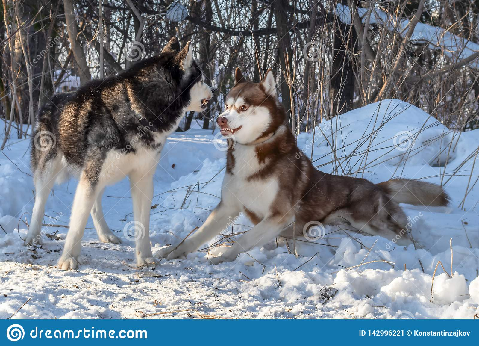Siberian husky dogs playing in winter forest. Fight, growl, ready to fight with hair on end in fighting stance.