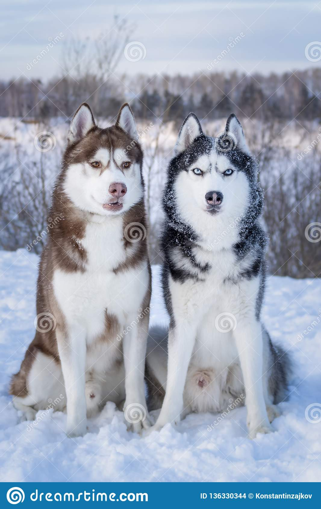 Siberian Husky Dogs Two Beautiful Siberian Huskies With Mesmerizing Eyes Eye Color Blue And Amber Stock Photo Image Of Color Winter 136330344