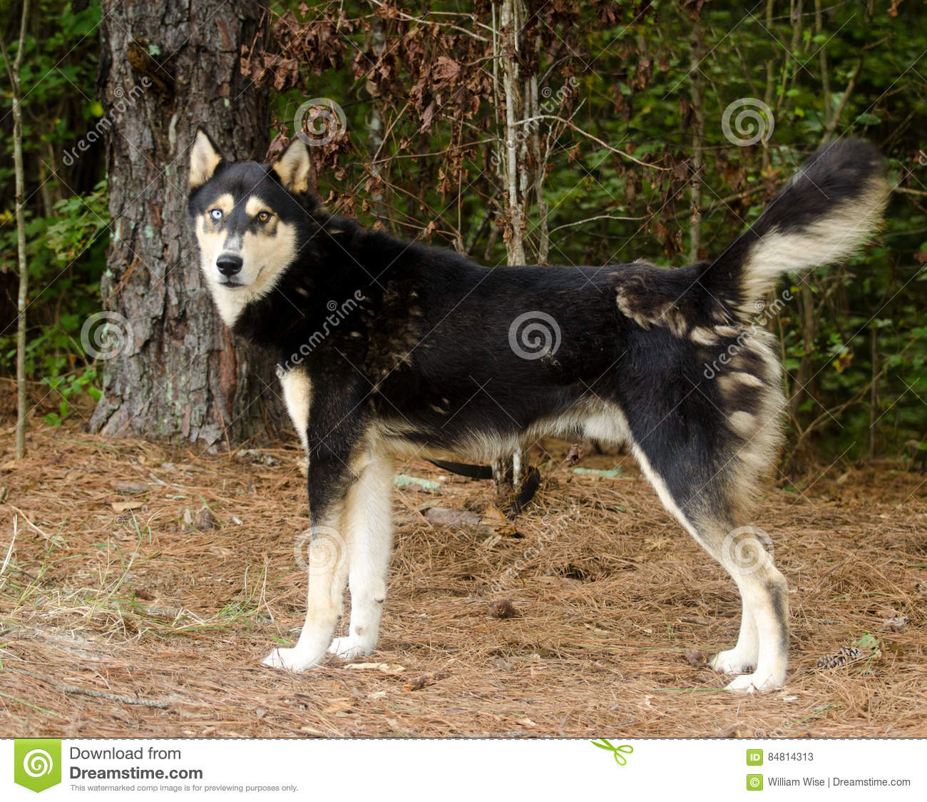 Siberian Husky German Shepherd Mixed Breed Dog Stock Image Image