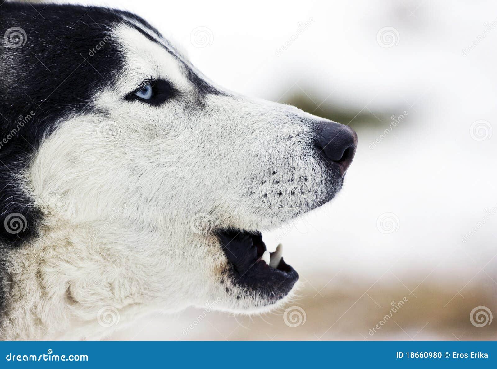 siberian husky howling stock photo  image of arctic  portrait
