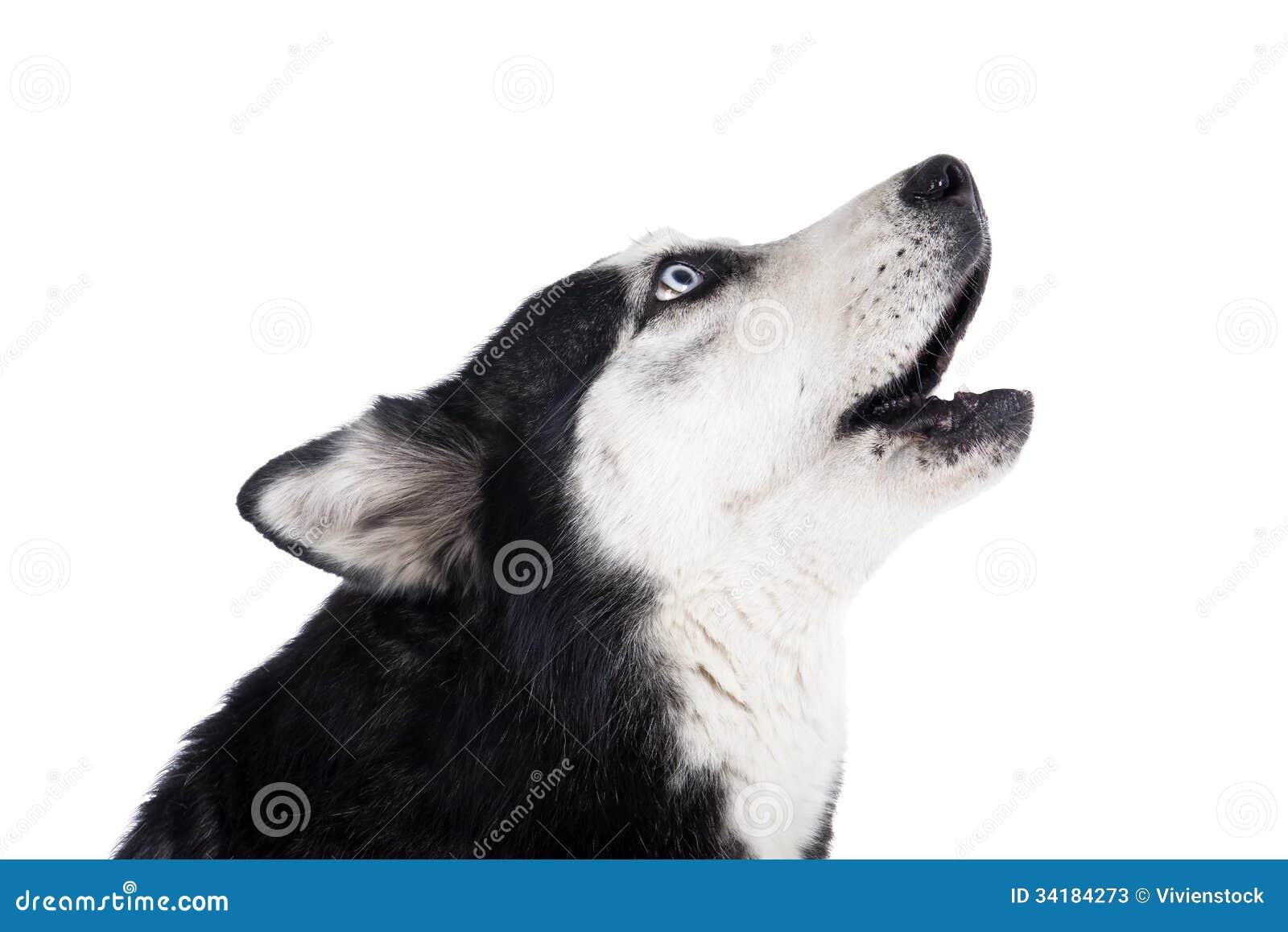 Siberian Husky Howling Stock Image Image Of Siberian 34184273