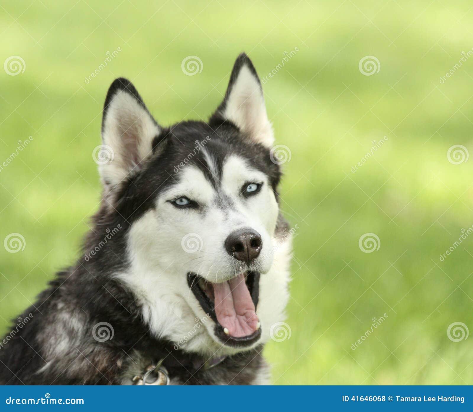 Husky Dog Showing Teeth