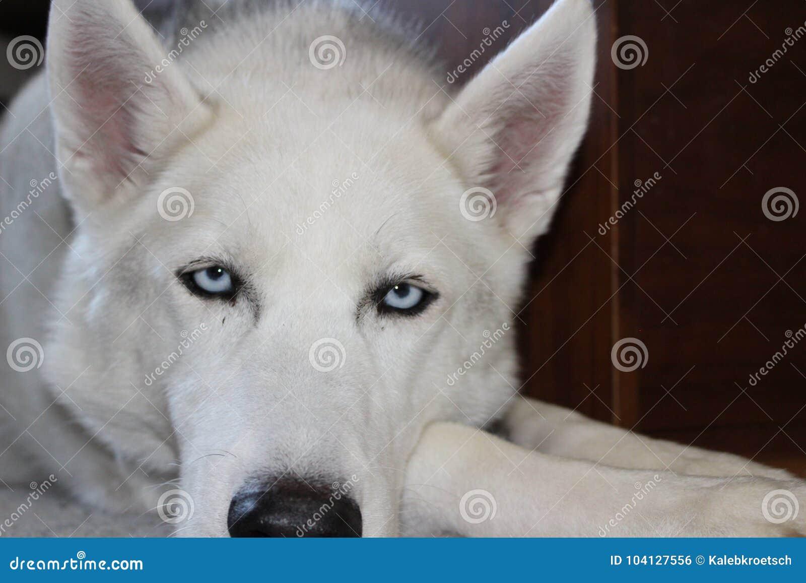 Siberian Husky Portrait Photo Blue Eyes Stock Photo Image Of