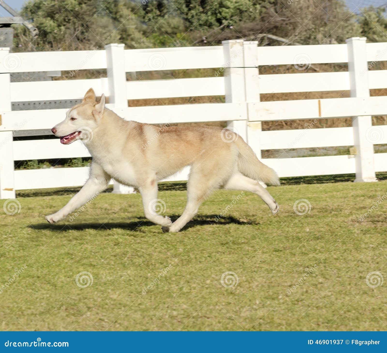 Siberian Husky Stock Image Image Of Healthy Intelligent 46901937