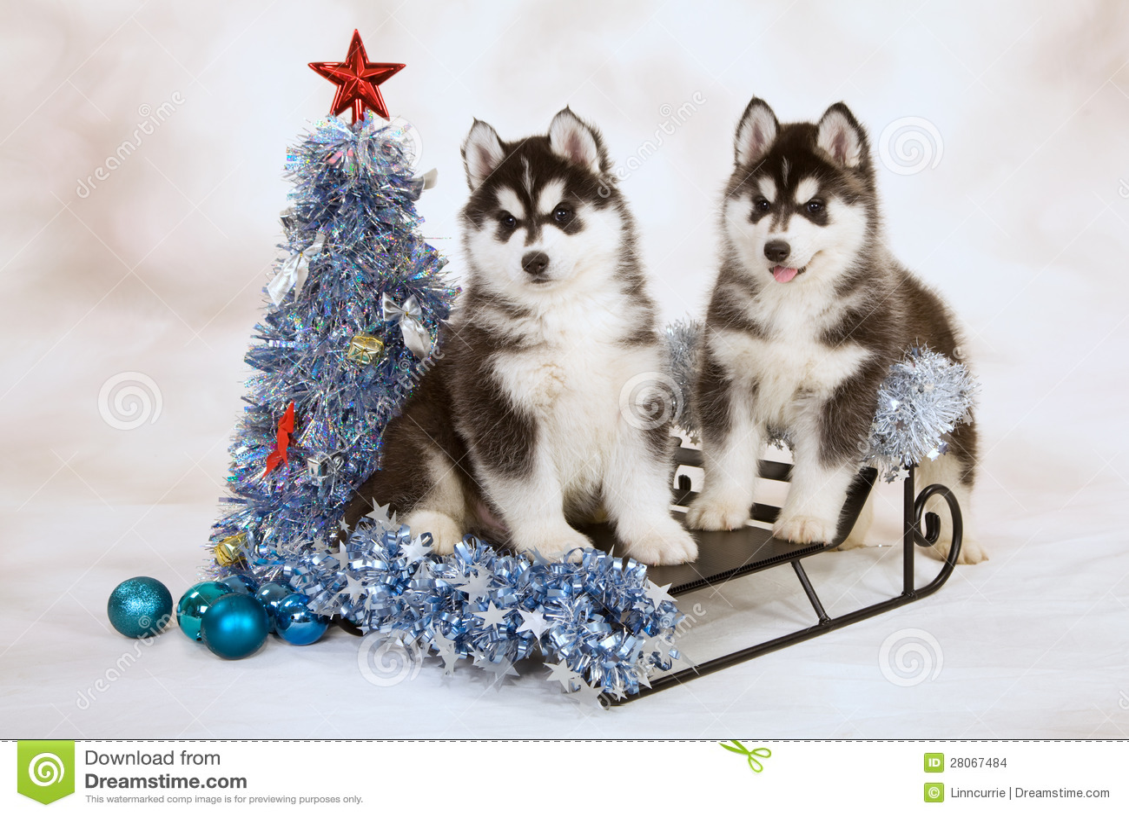 Husky Christmas Cards.Siberian Husky Puppies Stock Photo Image Of Present 28067484