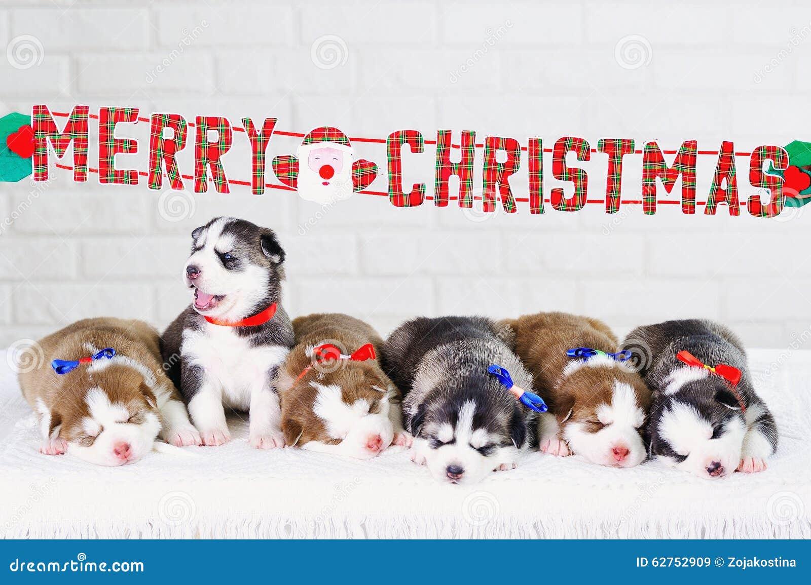 Husky Christmas Puppy.Siberian Husky Puppies Christmas Present Stock Image Image