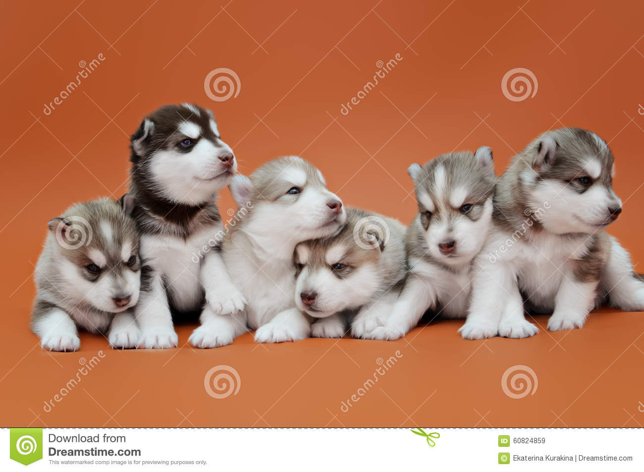 Siberian Husky Puppies Stock Image Image Of Face Harness 60824859