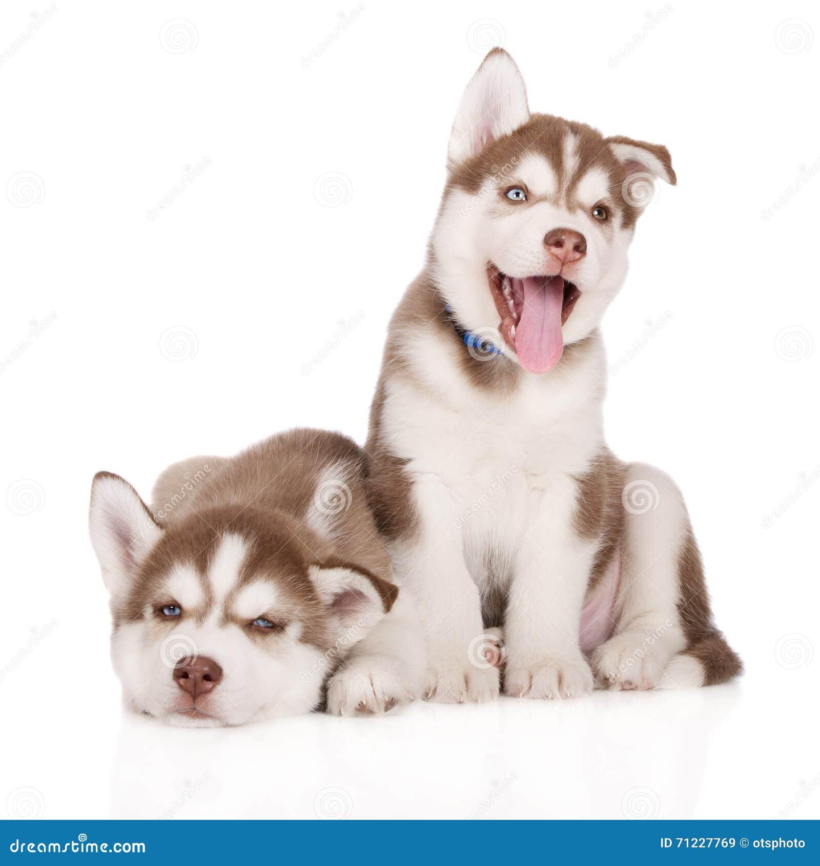 Siberian Husky Puppies Posing On White Stock Image Image Of Domestic Happy 71227769