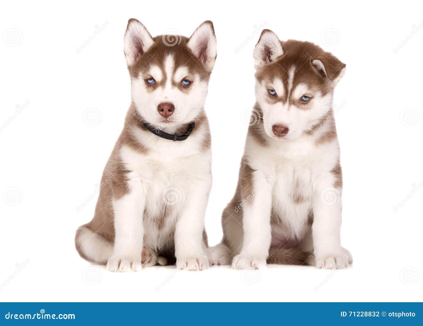 Siberian Husky Puppies Posing On White Stock Photo Image Of Isolated Studio 71228832