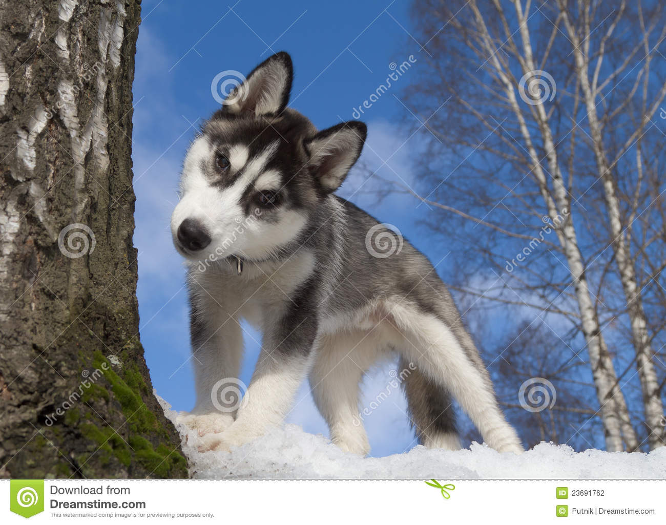 Siberian Husky Puppy Stock Photography - Image: 23691762