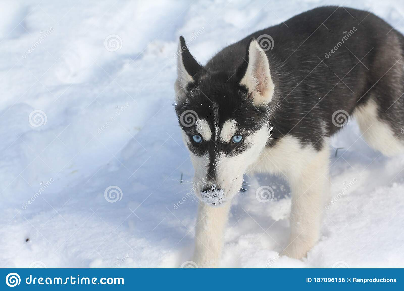 Siberian Husky Puppy In Black And White With Blue Eyes Stock Photo Image Of Cute Black 187096156