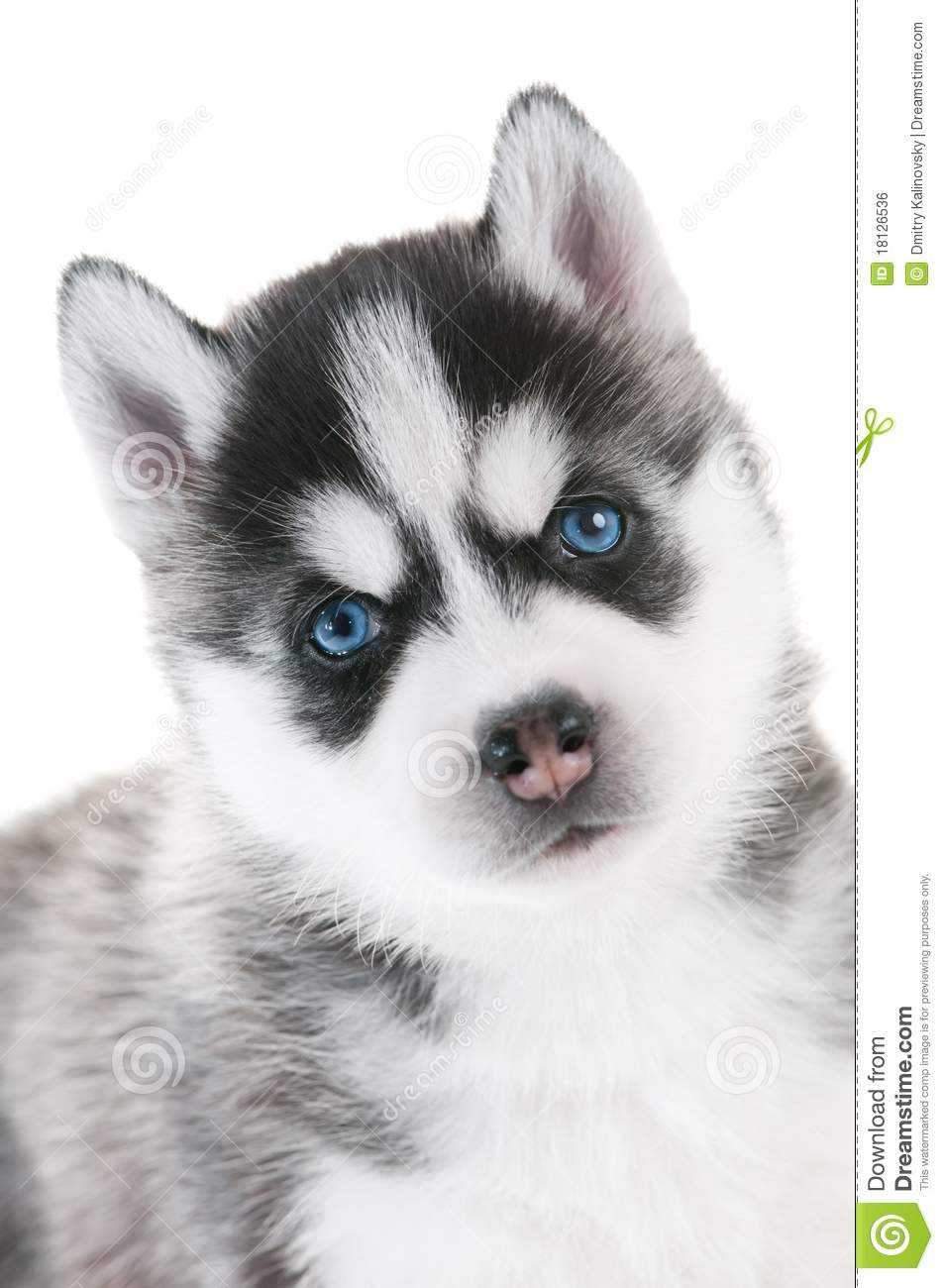 Siberian Husky Puppy With Blue Eyes Royalty Free Stock Image - Image ...