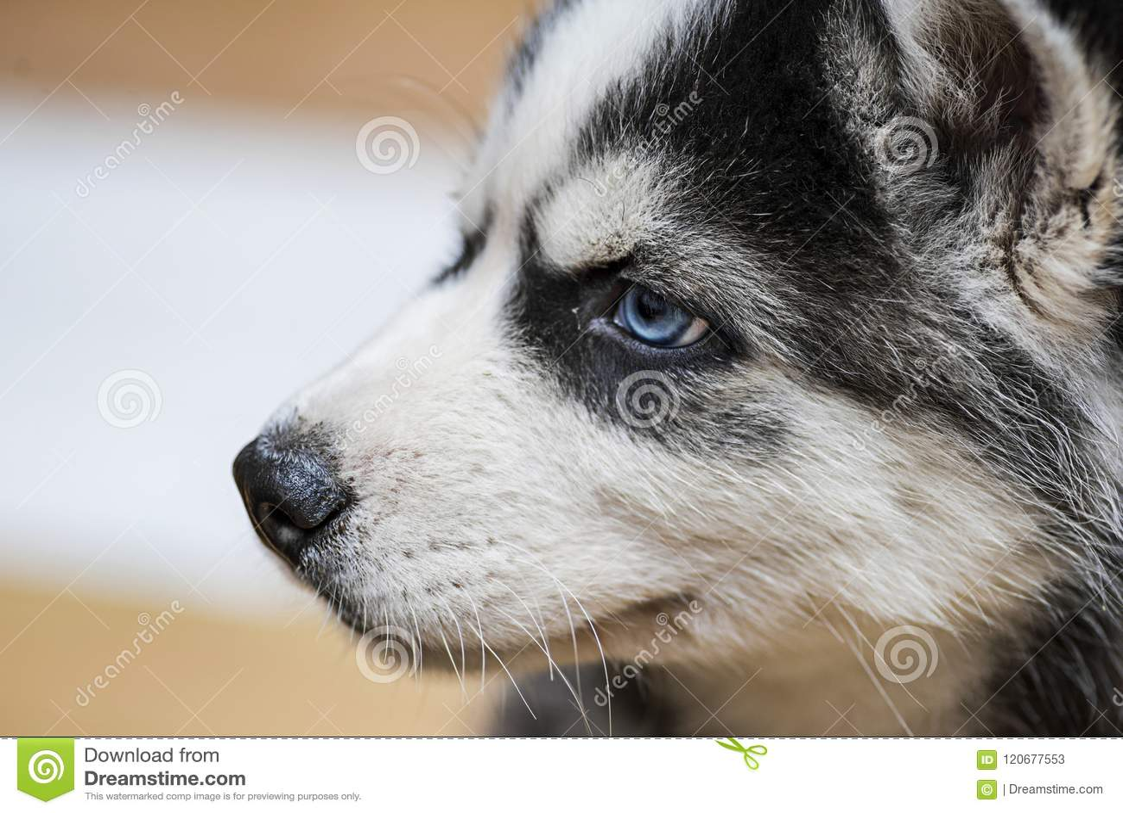 Siberian Husky Puppy With Blue Eyes Stock Image Image Of Nobody
