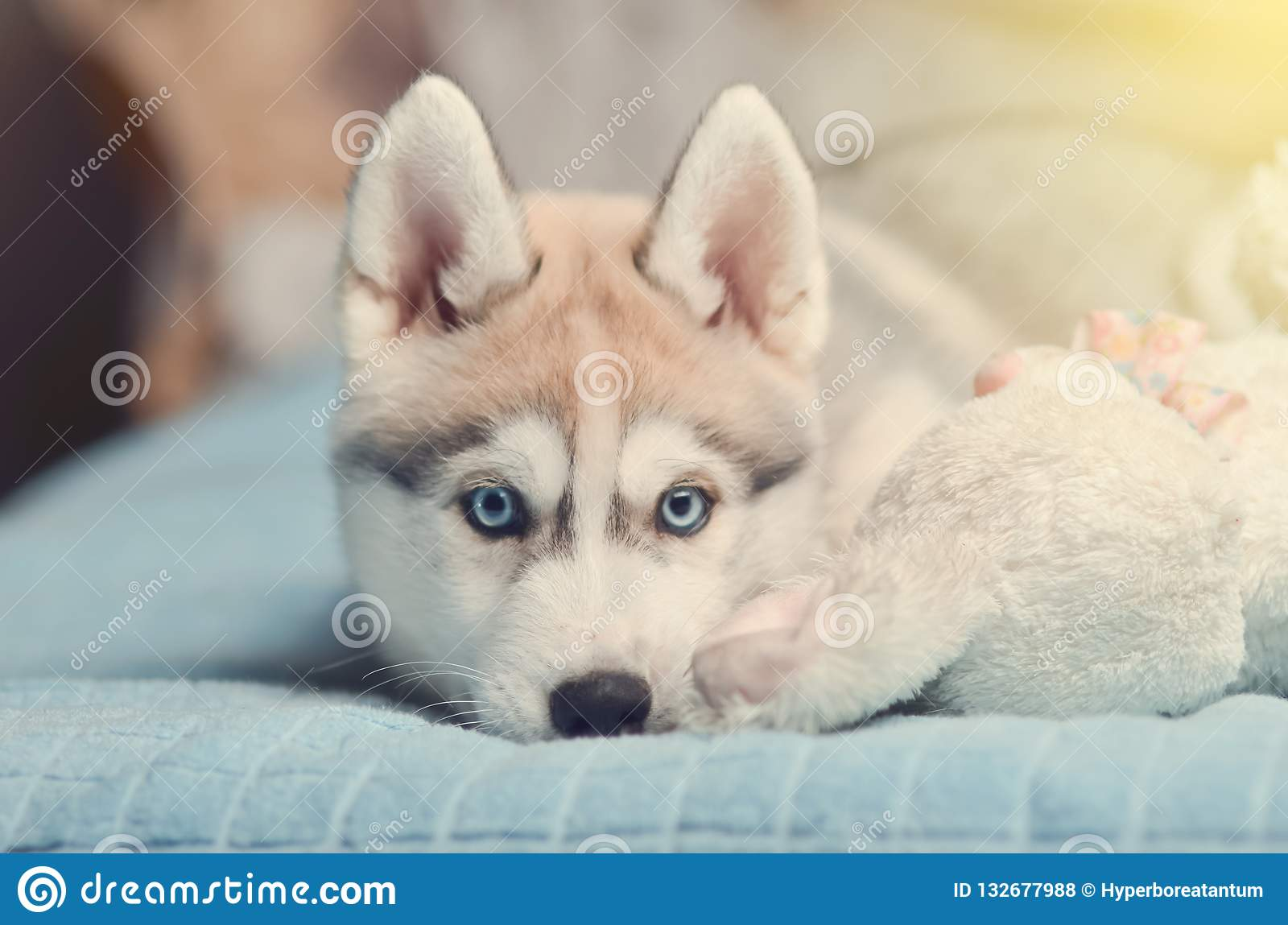 Siberian Husky Puppy With Blue Eyes Purebred Laying On The Bed W Stock Photo Image Of Close Young 132677988