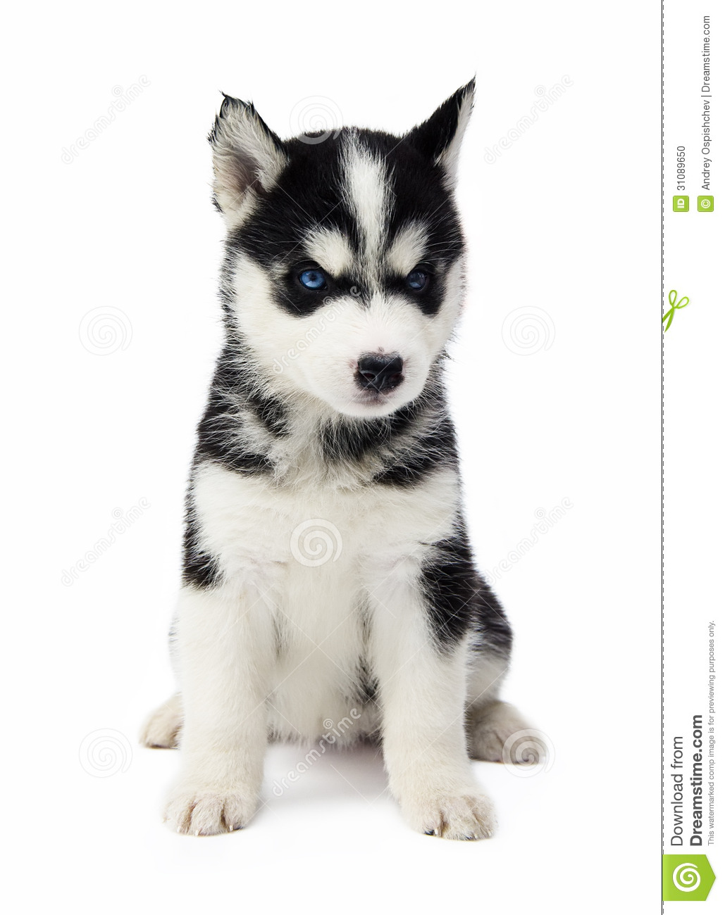 how to prepare for a husky puppy