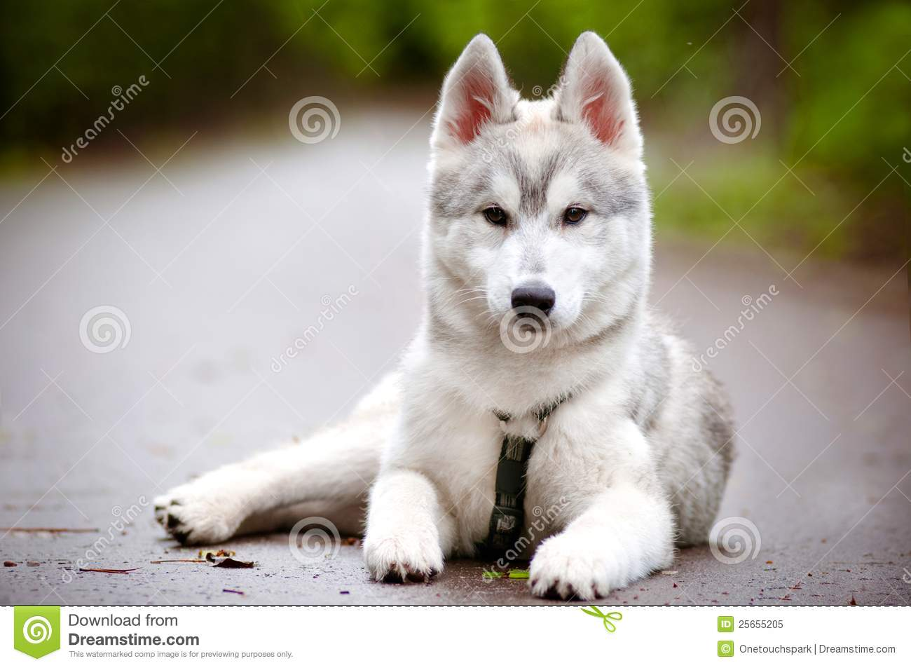 Siberian Husky Puppy In Harness Stock Image Image Of Nature Group