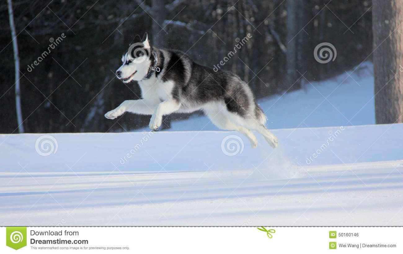 Siberian Husky Puppy Jump High On Snow Stock Photo Image Of Black