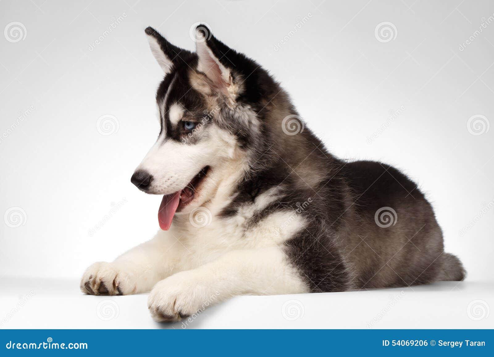 Siberian Husky Puppy Lies på vit