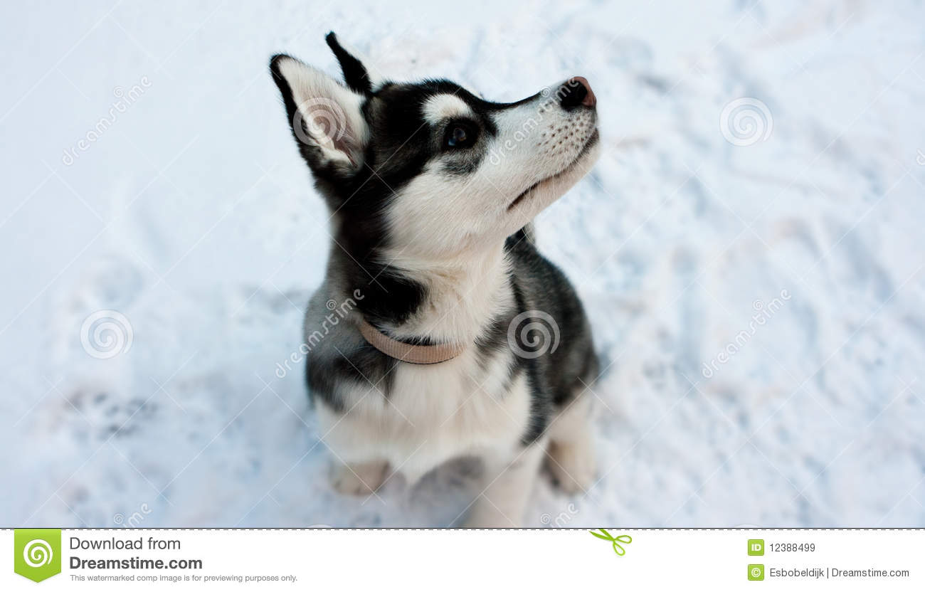 Siberian Husky Puppy In Snow Stock Image Image Of Portrait Beauty