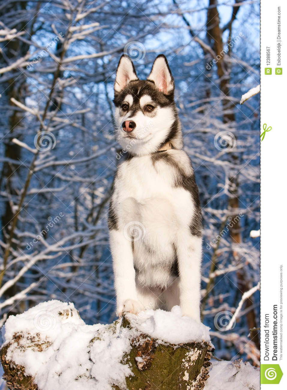 Siberian Husky Puppy In Snow Stock Image Image Of Cold Outdoor