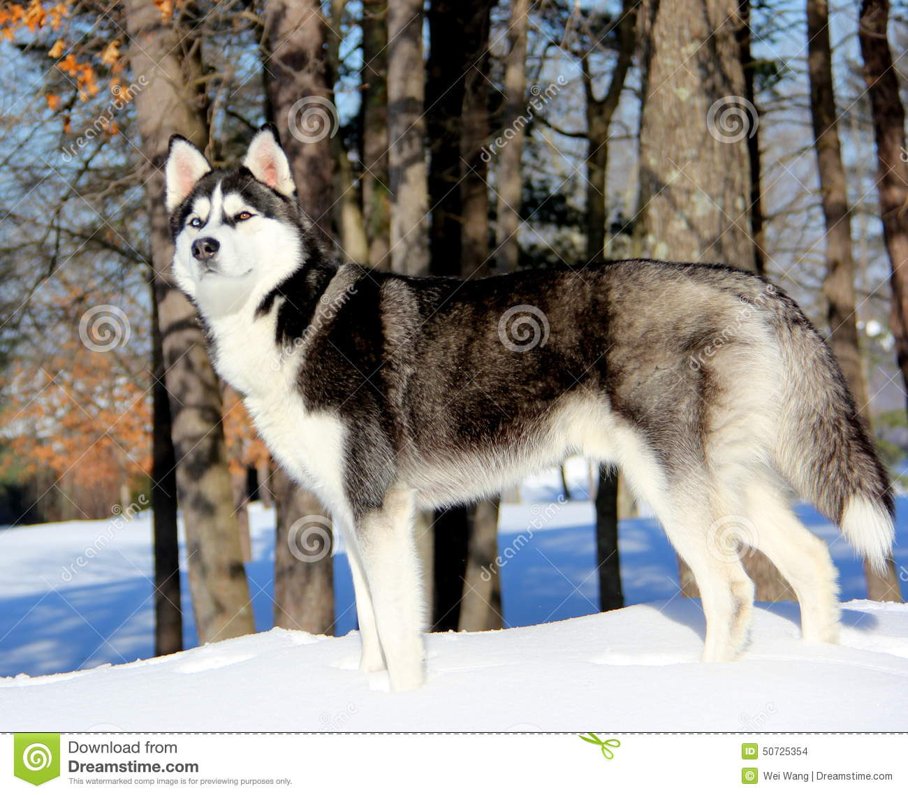 Siberian Husky Puppy On Snow Stock Photo Image Of Husky Puppy