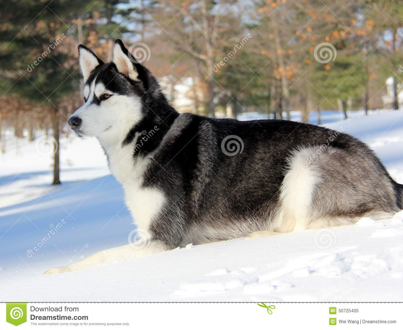 Siberian Husky Puppy On Snow Stock Image Image Of Gather Brown