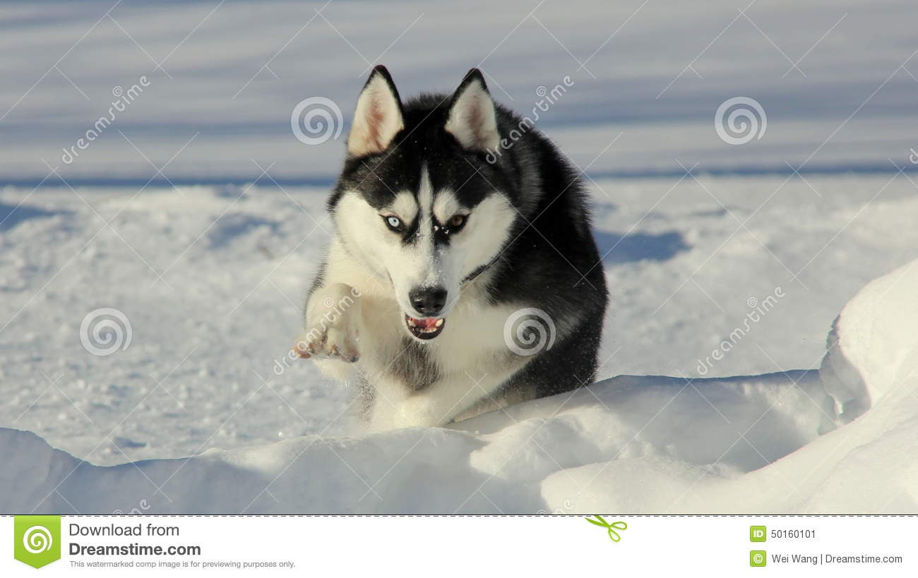 Siberian Husky Puppy On Snow Stock Image Image Of Husky White