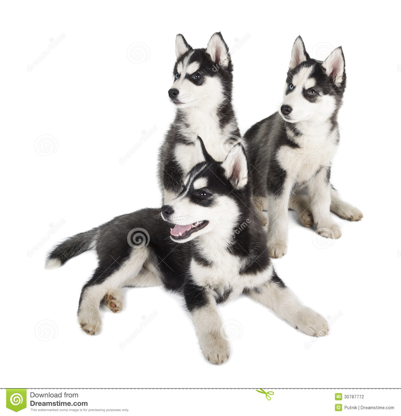 Siberian Husky Puppy stock photo. Image of blue, obedience ... White Wolf Puppies