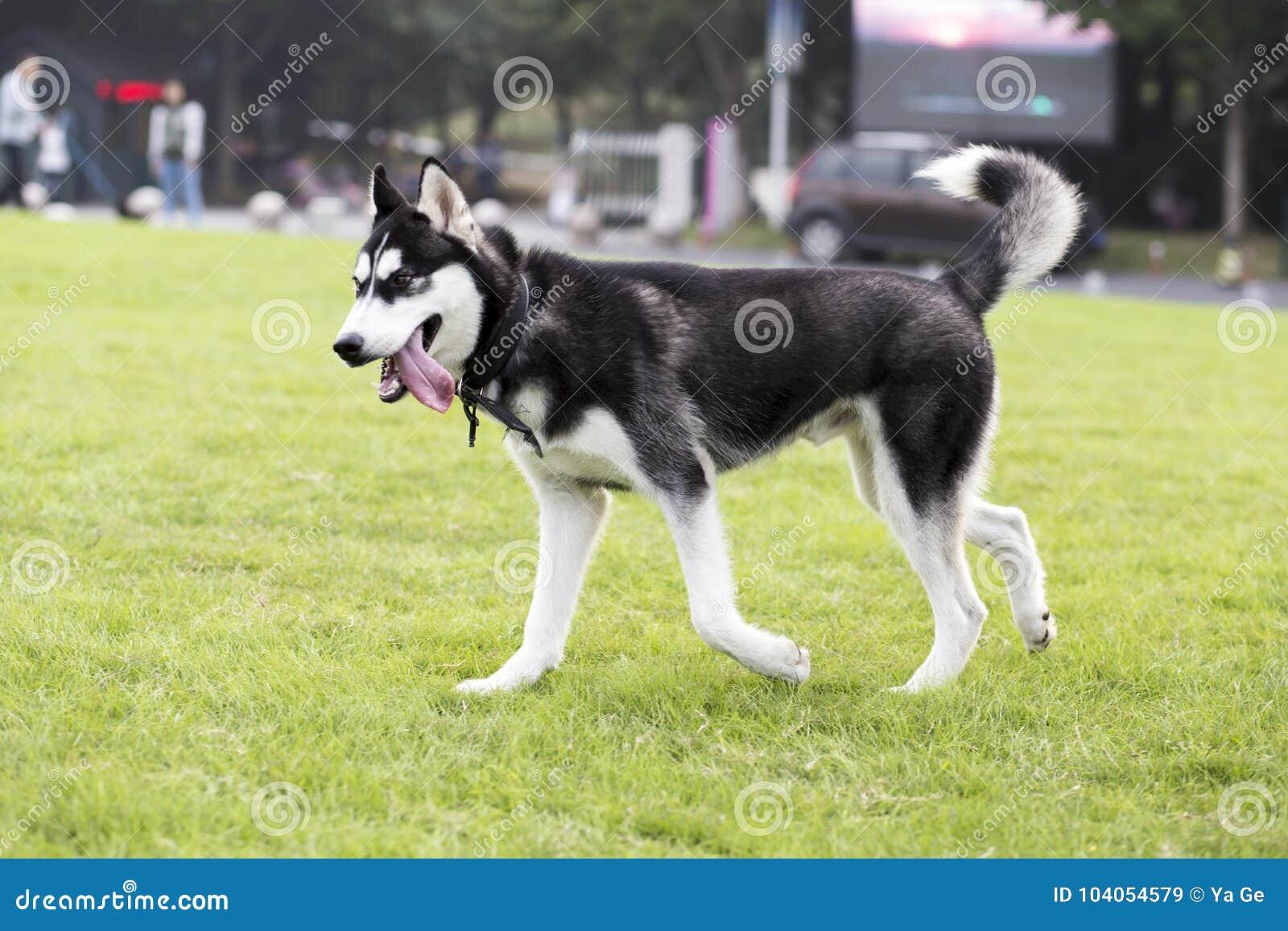 How to name the husky