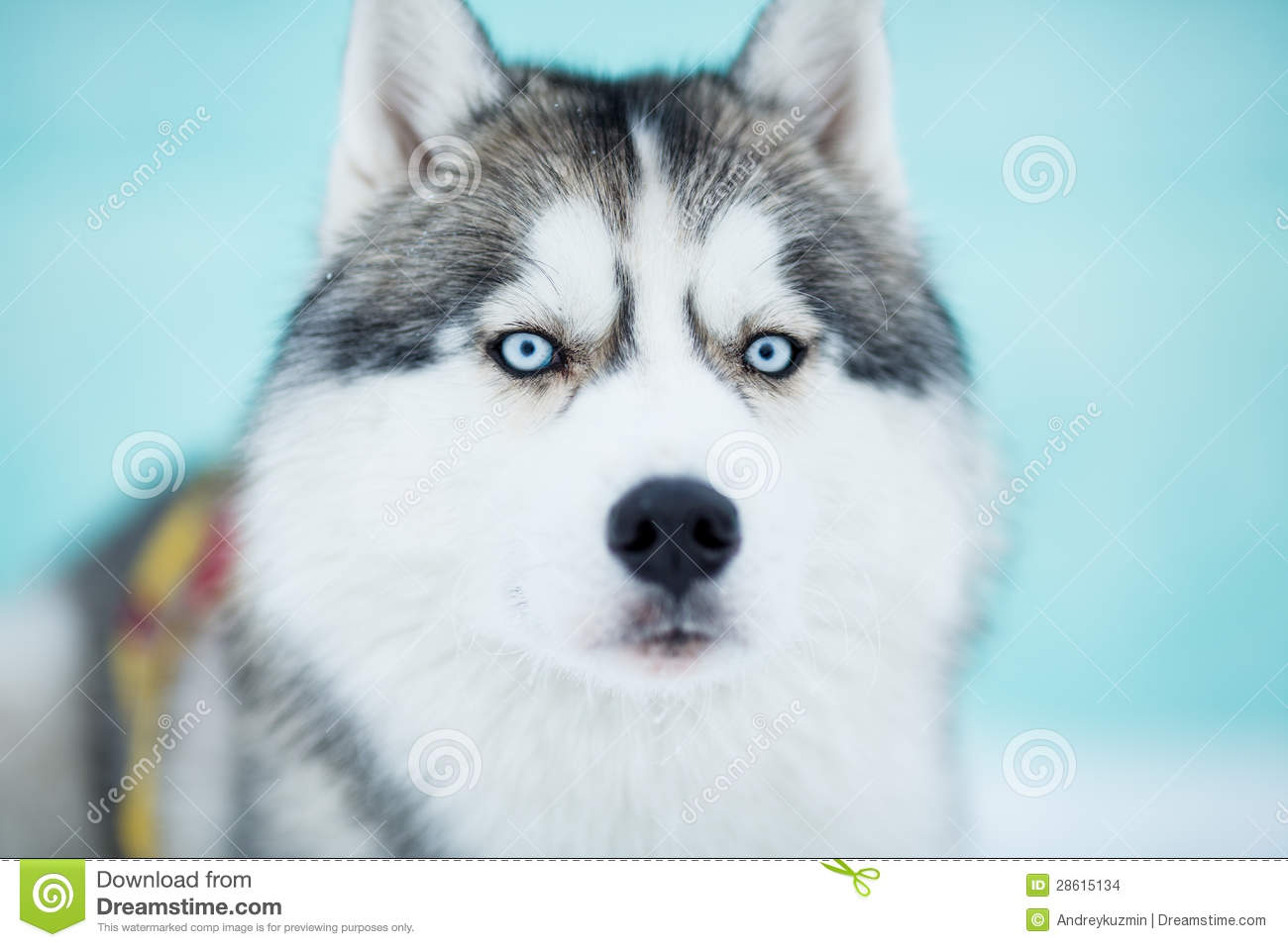 Siberian Husky Sled Dog Closeup Stock Images - Image: 28615134