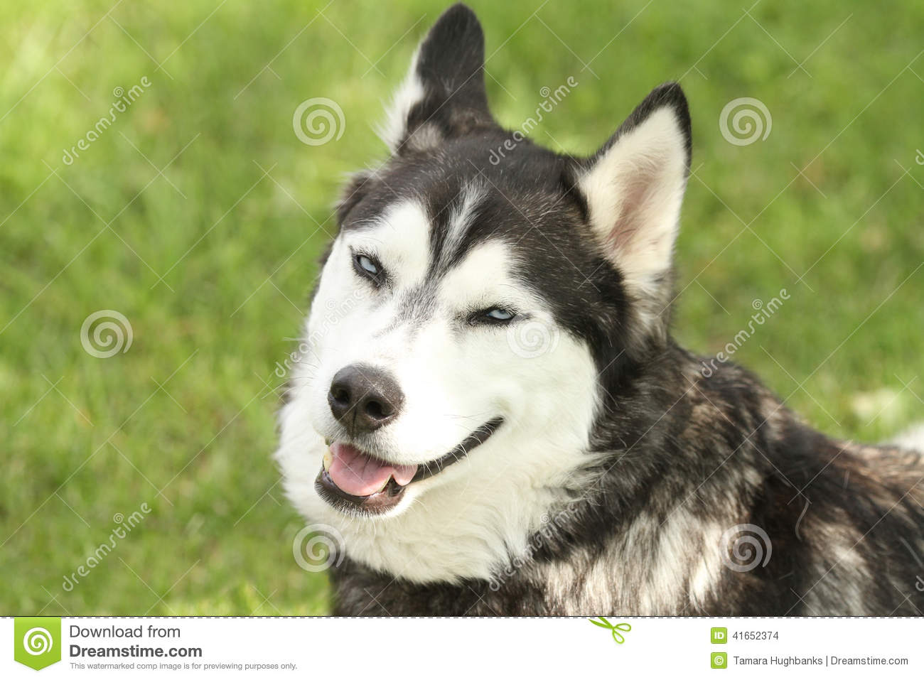 Siberian Husky With Smirking Face Stock Photo Image