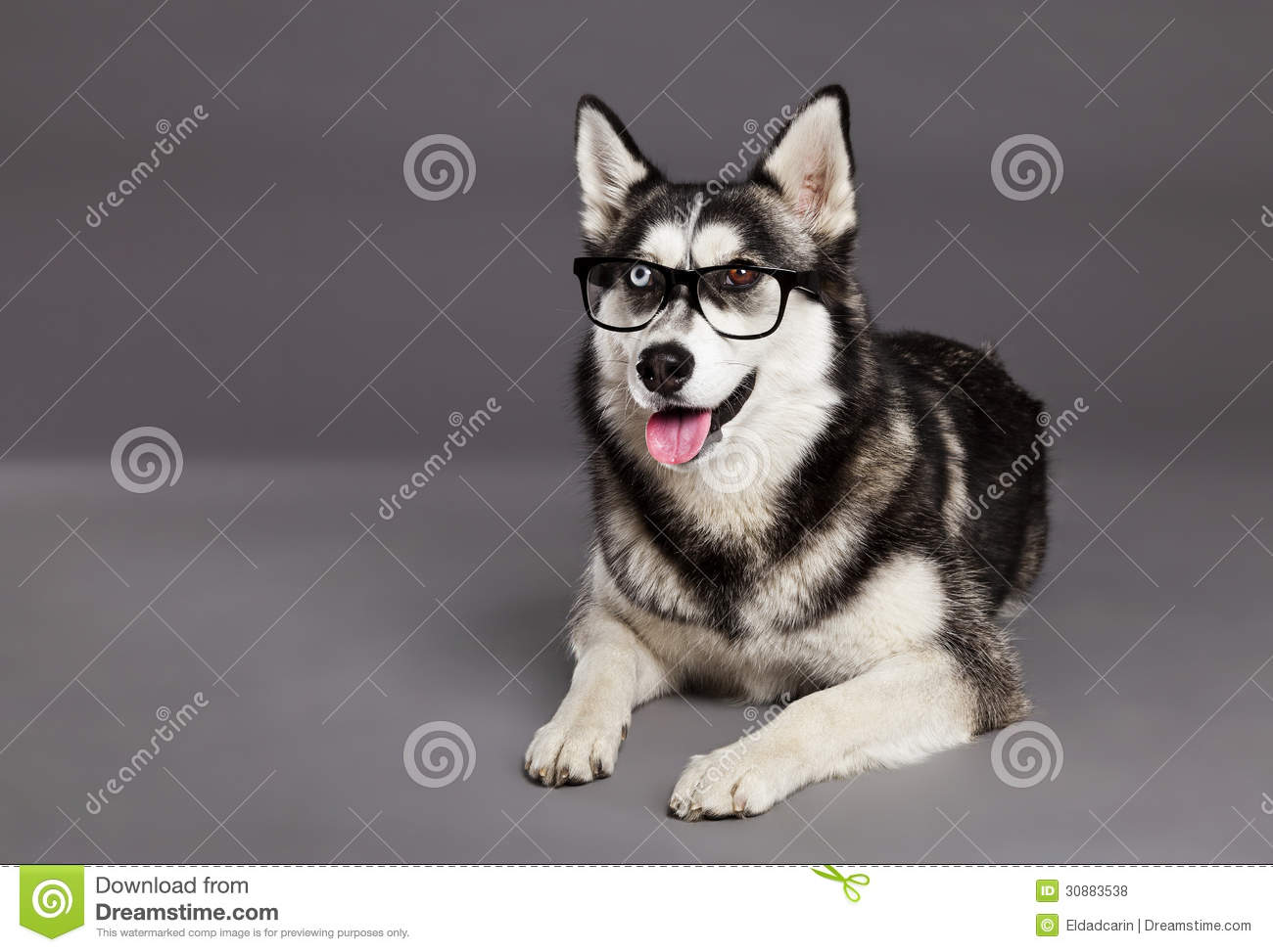 Siberian Husky Studio Portrait With Hipster Glasses Stock Photo ... | Siberian Husky Pictures Free Download