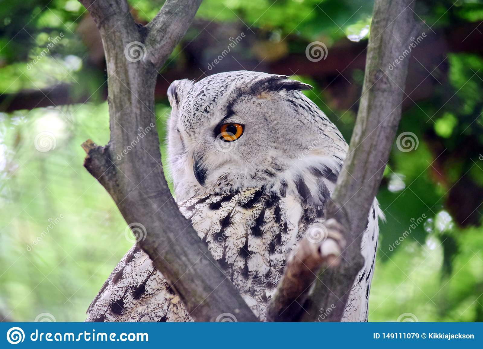 SIberian Owl Bubo Bubo Sibiricus on Tree