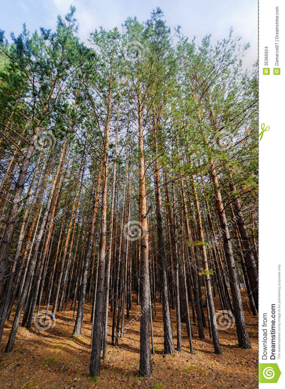 siberian pine tree forest stock images image 35366924