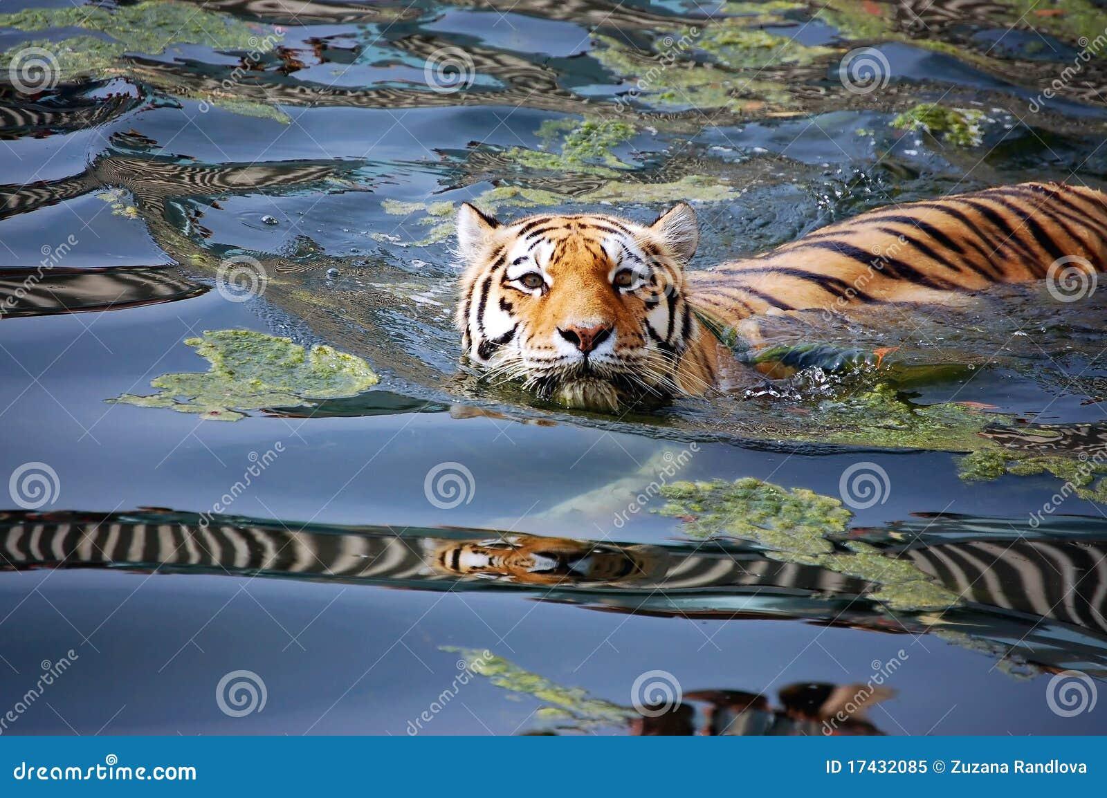 Tiger stock image  Image of korean, beautiful, alaska - 17432085
