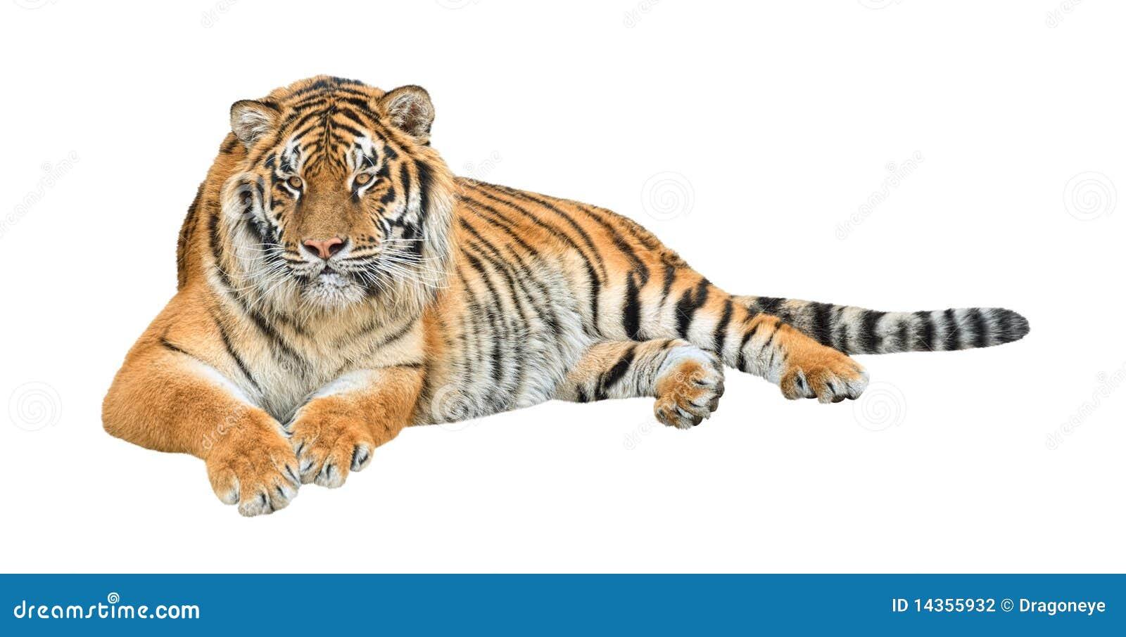 siberian tiger cutout stock photo 14355932 megapixl