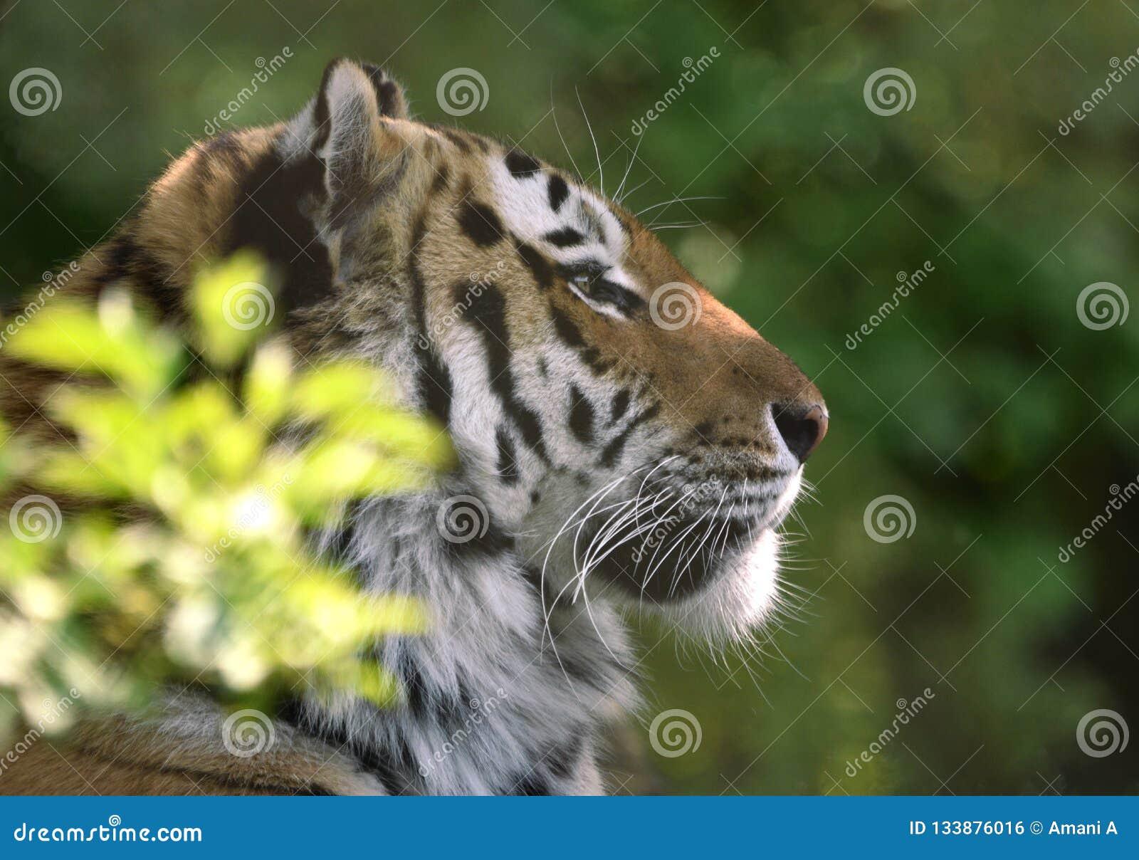 Siberian tiger in dappled shade