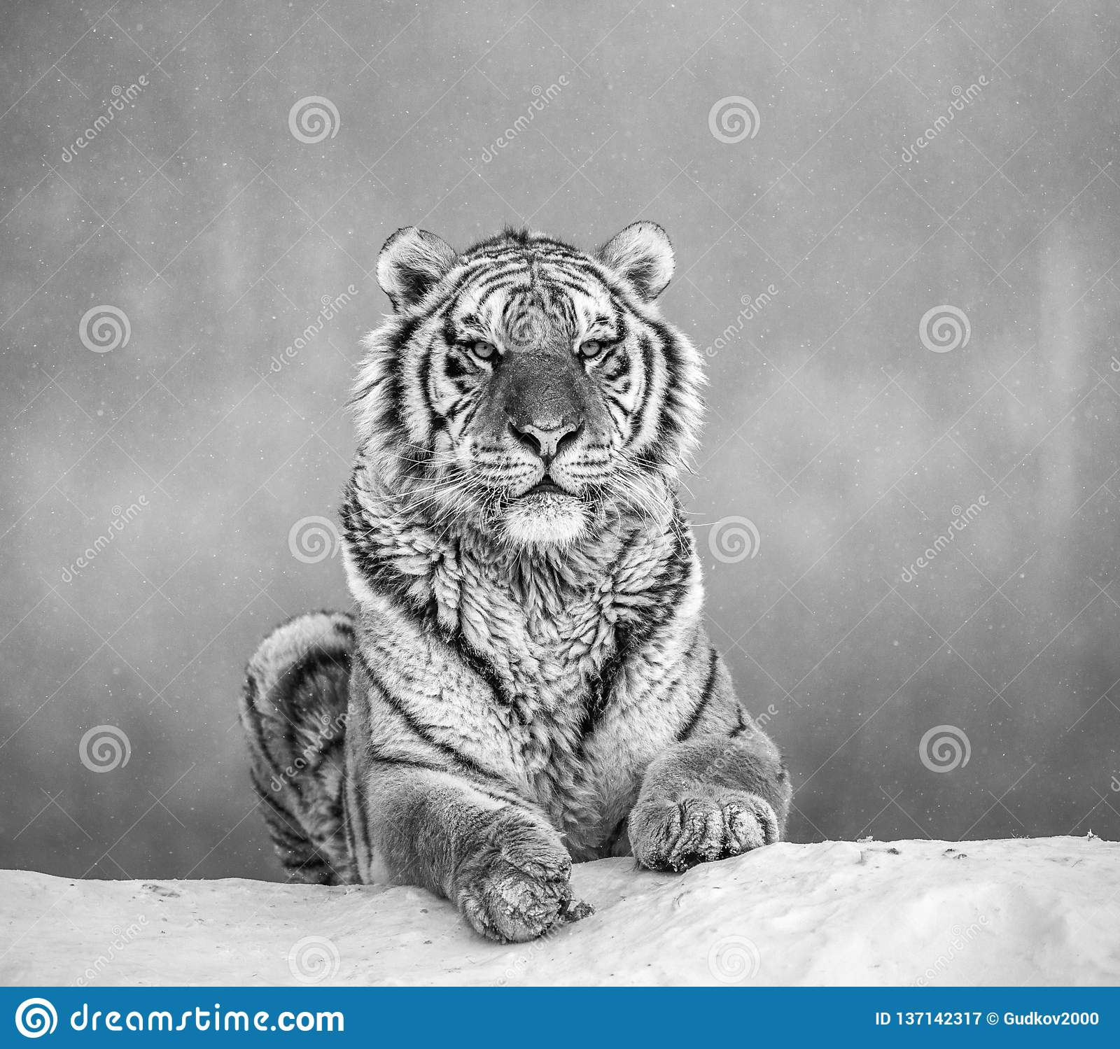 Siberian Tiger Lying On A Snow-covered Hill. Portrait Against The