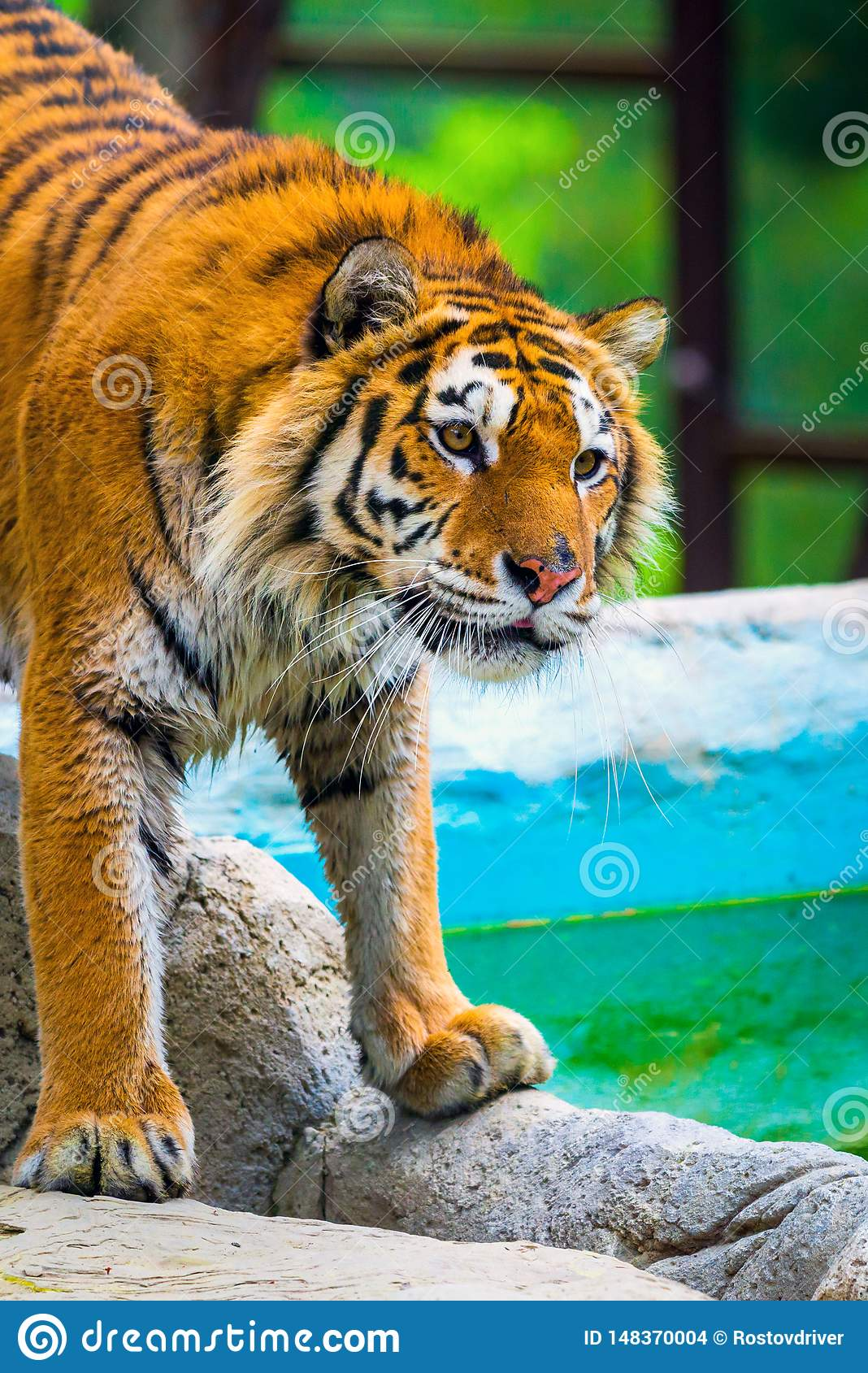 Siberian tiger portrait. Aggressive stare face meaning danger for the prey. Closeup view to angry expression