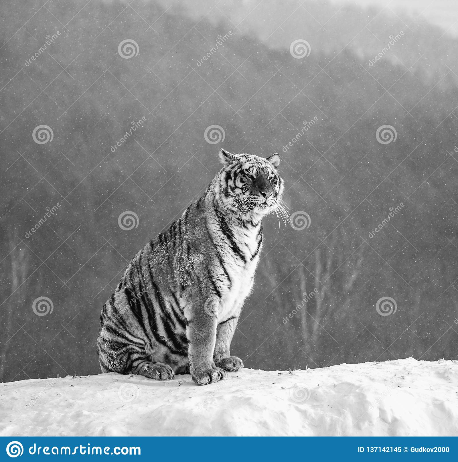 Siberian tiger is standing on a snowy hill on a background of winter trees. Black and white. China. Harbin.