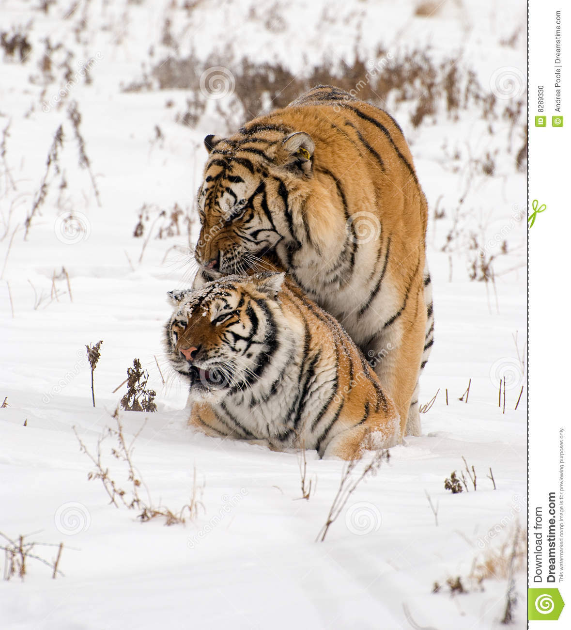 male and female siberian tiger mating in the winter snow in China.