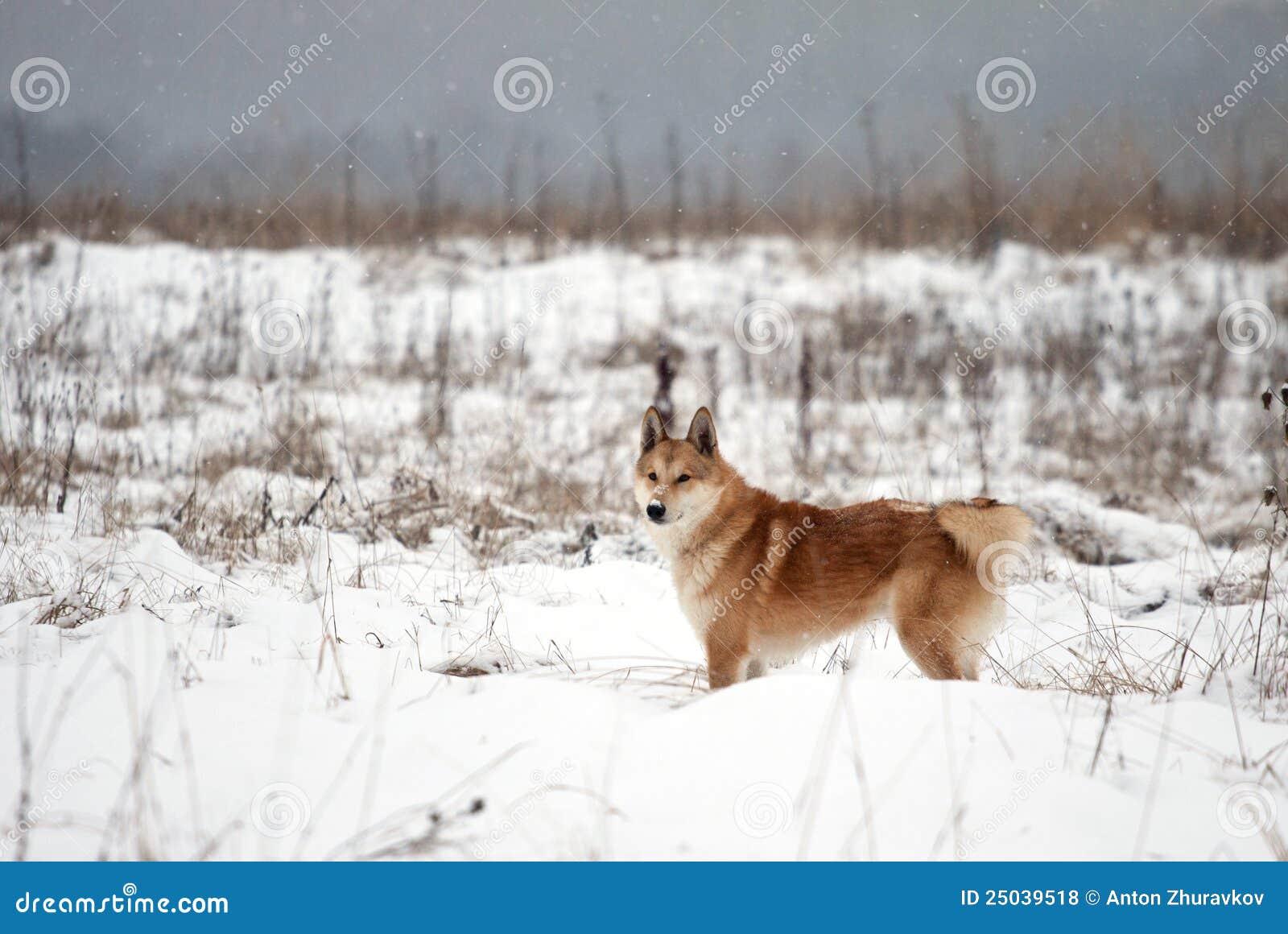 Siberian västra för laika