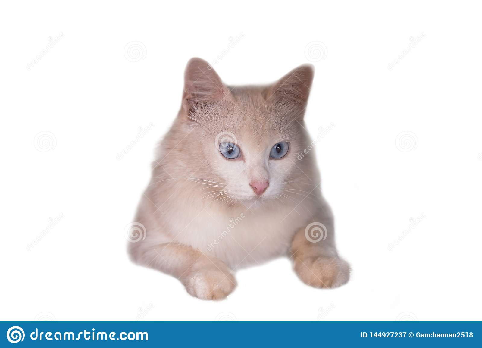 Siberian White Beige Kitten Cat With Blue Eyes Sitting And Looking Forward Isolated Stock Image Image Of Gray Feline 144927237