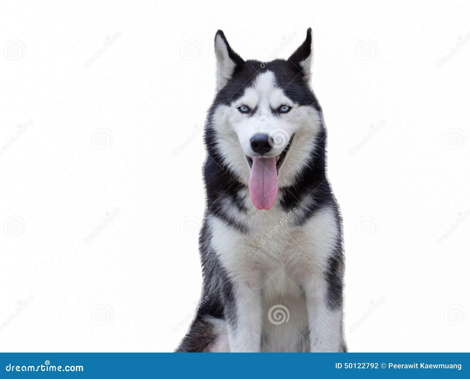Siberiano Husky Champ, sentándose en frente