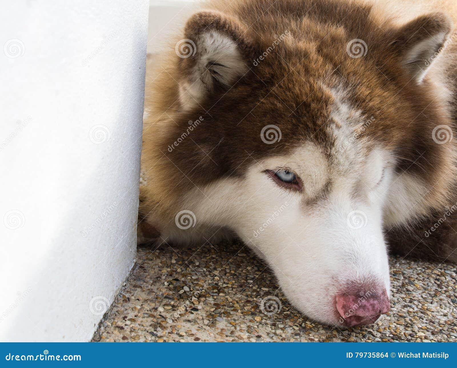 Siberiano Husky Lying en las escaleras