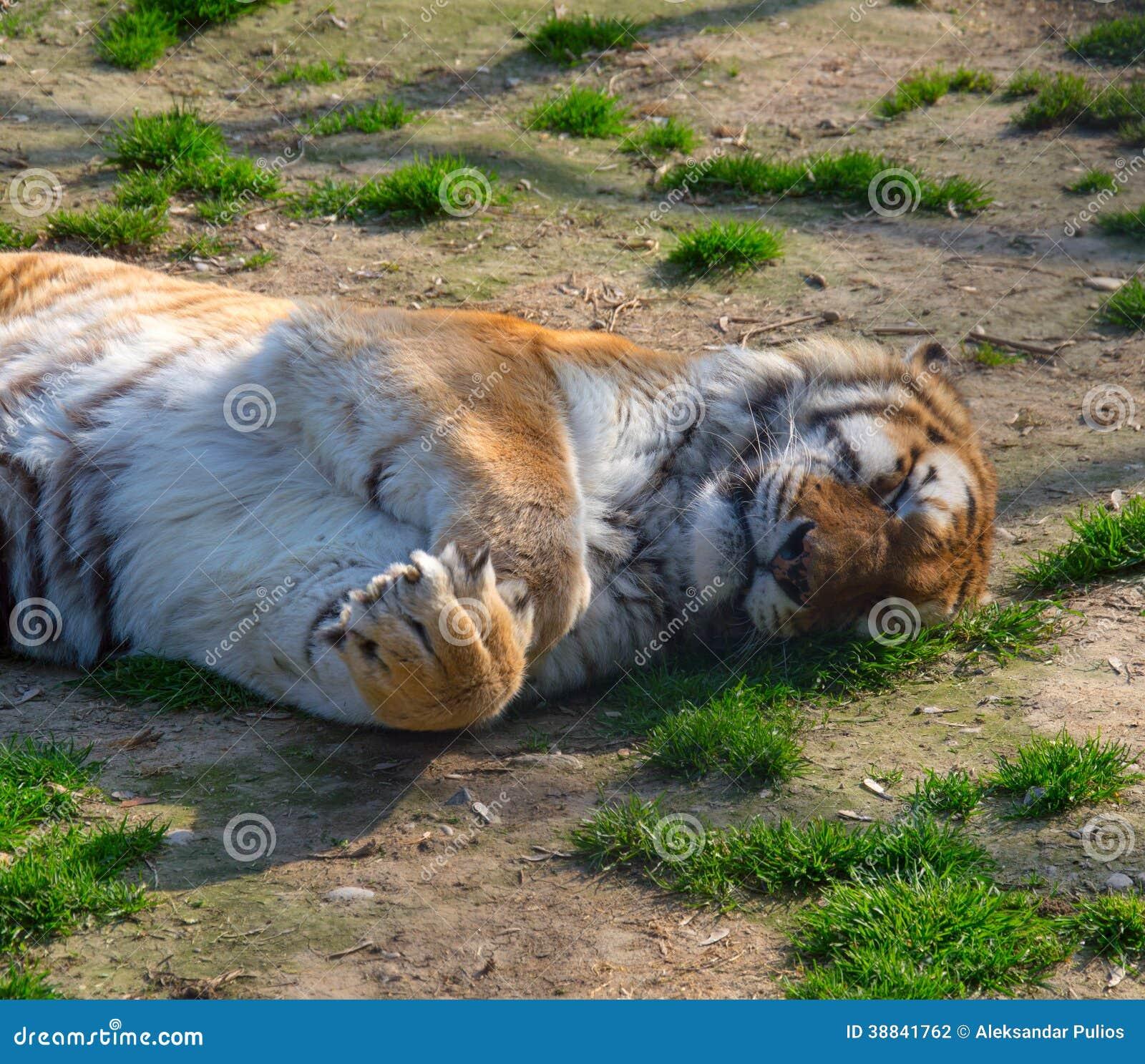 Siberiano Tiger Sleeping